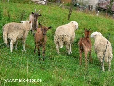 Krusenhof-Schafe-Ziegen_400x300