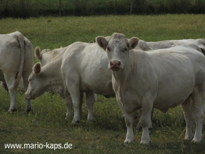 Charolais-Rinder1_400x300