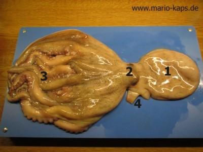 Oktopus/Pulpo küchenfertig vorberetiten - Oktopus beschriftet: Mantel (1), Augen (2), Tentakeln/Fangarme (3), Siphon (4)