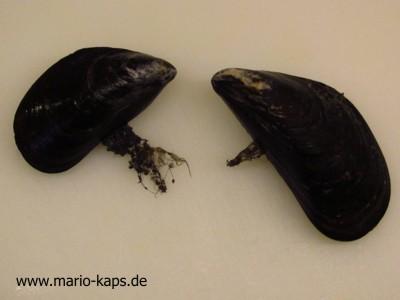 """Miesmuscheln mit """"Bärten"""" (haarig wirkende Büschel, die aus der Miesmuschelschale herausragen)"""
