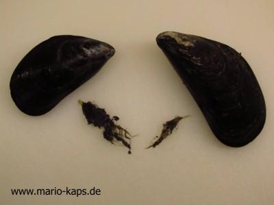 """Miesmuscheln mit entfernten """"Bärten"""" (haarig wirkende Büschel, die aus der Miesmuschelschale herausragen)"""