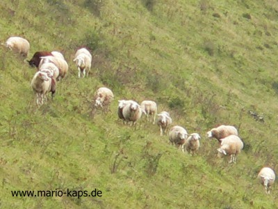 Krusenhof-Schafe_400x300