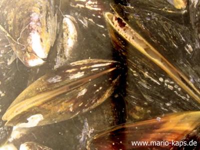 Miesmuscheln mit leicht geöffneten Schalen beim Filtrieren des Meersalz-Chili-Wassers